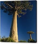 Grandidiers Baobab Trees Madagascar Canvas Print