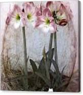 Grandmas Amaryllis Garden Canvas Print