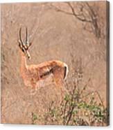 Grant's Gazelle Nanger Granti Canvas Print