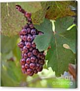 Grape Bunch Canvas Print