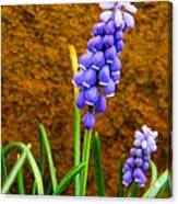 Grape Hyacinth And Sandstone  Canvas Print