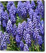 Grape Hyacinth At Thanksgiving Point - 1 Canvas Print