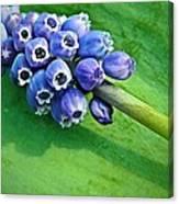 Grape Hyacinth Spike  Canvas Print