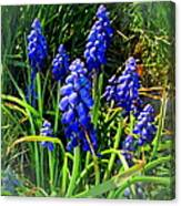 Grape Hyacinths 2014 Canvas Print
