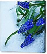 Grape Hyacinths In Snow Canvas Print
