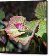 Grape Leaves In Spring Canvas Print