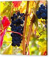 Grapes And Autumn Leaves, Napa California Canvas Print