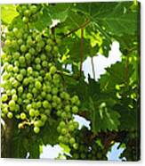 Grapes In A Vineyard Canvas Print