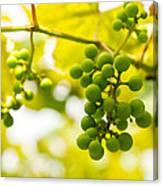 Grapes On The Vine - Finger Lakes Vineyard Canvas Print