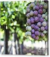 Grapes On Vine 2 Canvas Print