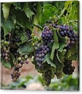 Grapes On Vine Canvas Print