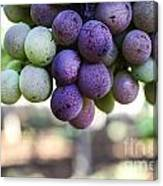Grapes On Vine Canvas Print