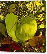 Grapetree Canopy Canvas Print