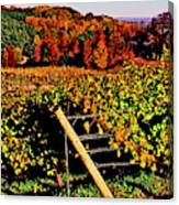 Grapevines In Vineyard, Traverse City Canvas Print