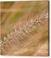 Grass Seed Head Canvas Print