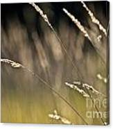Grasses Blowing Canvas Print