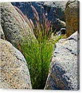 Grasses In Oasis On Borrego Palm Canyon Trail In Anza-borrego Desert Sp-ca Canvas Print