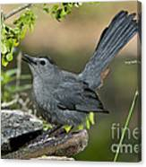 Gray Catbird Drinking Canvas Print