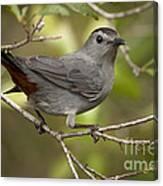 Gray Catbird Canvas Print