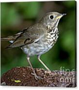 Gray-cheeked Thrush Catharus Minimus Canvas Print