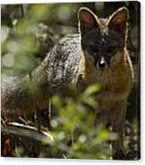 Gray Fox In The Woods Canvas Print