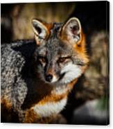 Gray Fox Canvas Print
