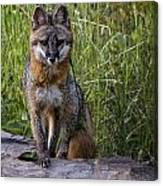 Gray Fox Posing Canvas Print