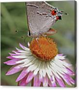 Gray Hairstreak And Straw Flower Canvas Print