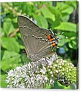 Gray Hairstreak Butterfly - Strymon Melinus Canvas Print