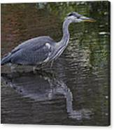 Gray Heron And Reflection Canvas Print