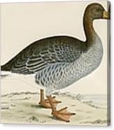 Gray Lag Goose Canvas Print