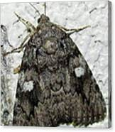 Gray Owlet Moth Canvas Print
