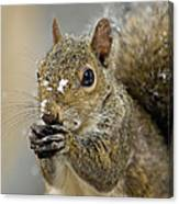 Gray Squirrel - D008392  Canvas Print