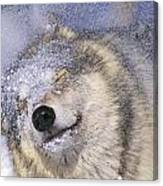 Gray Wolf Canis Lupus Shaking Snow Off Canvas Print