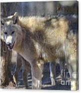 Gray Wolf Canvas Print