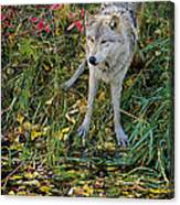 Gray Wolf Drinking Canvas Print
