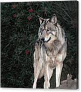 Gray Wolf Endangered Species Wildlife Rescue Canvas Print