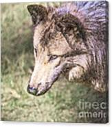Gray Wolf Grey Wolf Canis Lupus Canvas Print