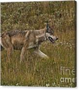 Gray Wolf Hunting Canvas Print