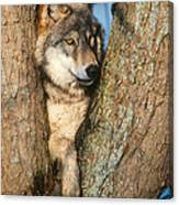 Gray Wolf In Tree Canis Lupus Canvas Print