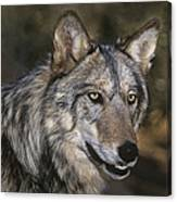 Gray Wolf Portrait Endangered Species Wildlife Rescue Canvas Print