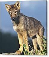 Gray Wolf Pup Montana Canvas Print