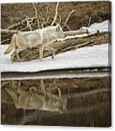 Gray Wolf Reflection Canvas Print