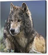 Gray Wolf Resting North America Canvas Print