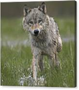 Gray Wolf Walking Through Water Canvas Print