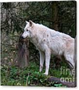 Gray Wolf White Morph Canvas Print