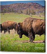 Grazing Bison Canvas Print