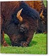Grazing Buffaloes Canvas Print