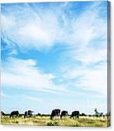 Grazing Cattle Canvas Print