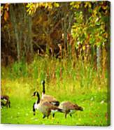 Grazing Geese Canvas Print
